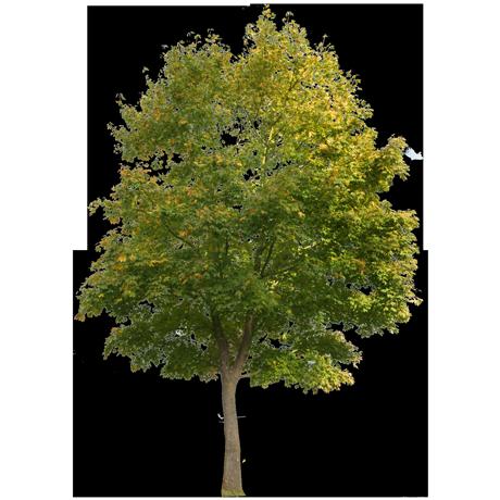 tree_acm0001_thumb.png